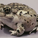 Great Basin Spadefoot - Photo (c) Kerry Matz, some rights reserved (CC BY-NC-SA)