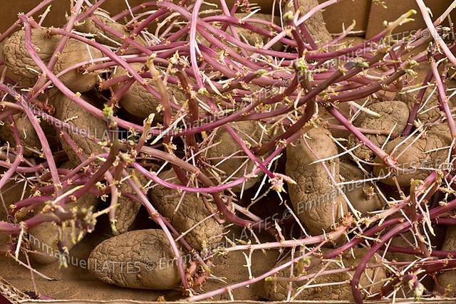 Pommes de terre solanum tuberosum germ es flickr - Planter des pommes de terre germees ...