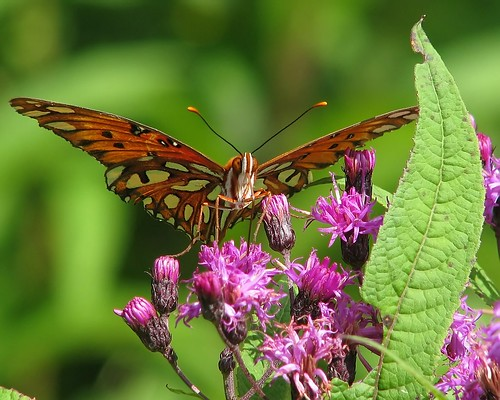 Gulf fritillary striking a pose