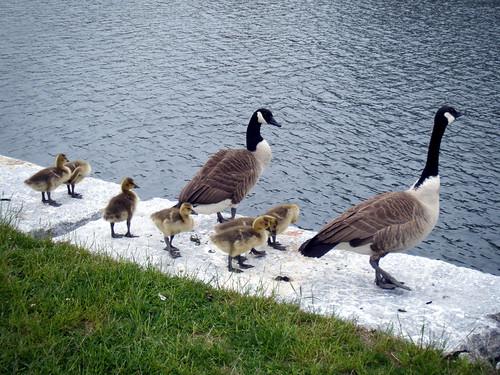 goosefamily3