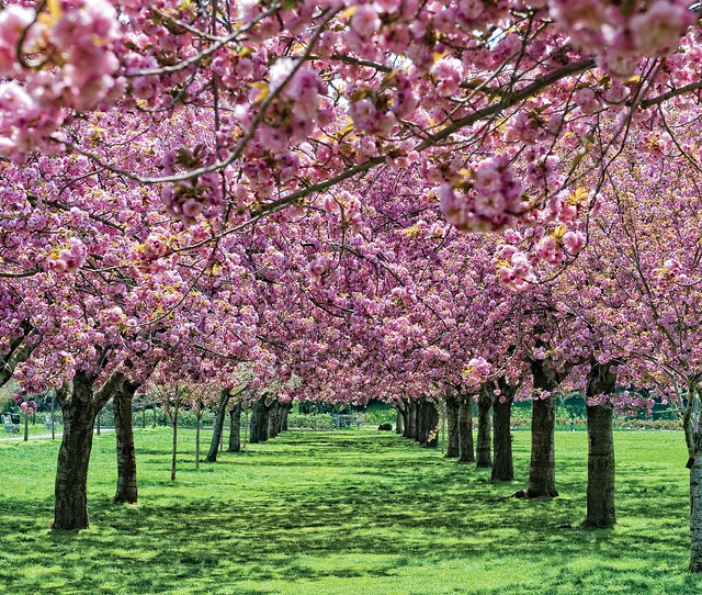 Cherry Esplanade in April. Photo by Antonio M. Rosario.