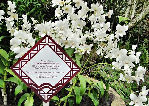 Orchid - Dendrobium Memoria Princess Diana