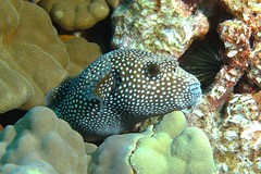 Puffers/Porcupines