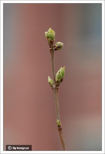 【图】白丁香的花芽