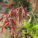 Small photo of Acer palmatum 'bloodgood'
