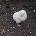 Small photo of Chicken