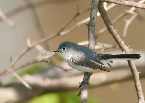 Gnatcatcher, April, PA