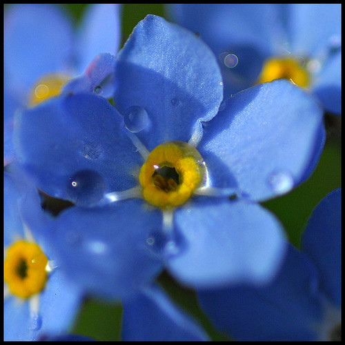 Forget Me Not in the Rain