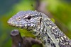 "<a href=""http://www.flickr.com/photos/michaelransburg/4587648978/"">Photo of Varanus niloticus by Michael Ransburg</a>"