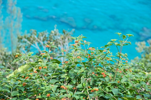 Lantana growing on the Kalalau Trail