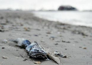 A dead fish lies on the beach in Pass Christian, Mississippi as the gulf coast is still threatened by the oil spill from the BP Deepwater Horizon platform disaster.  by Pan-African News Wire File Photos