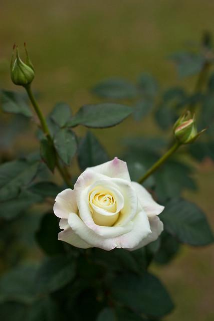 Photo:Rose, Ginrei By nekonomania