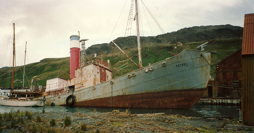 Petrel Grytviken South Georgia