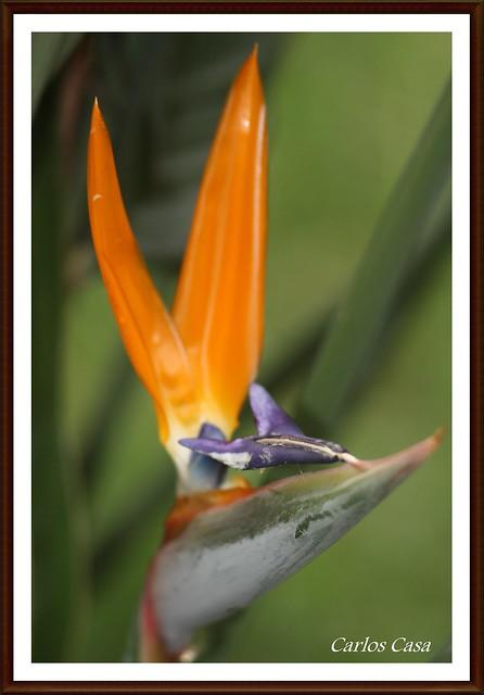 Flor del pájaro (Esterlicia)