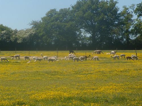 Alpaca in buttercups