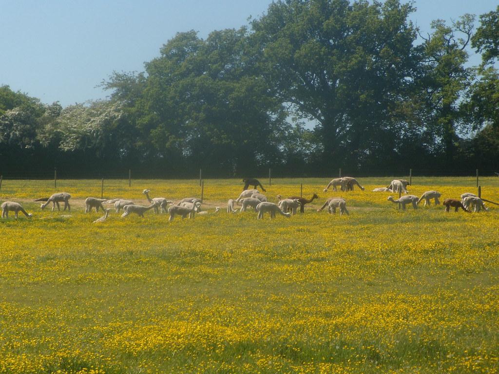 Alpaca in buttercups Pangbourne round walk