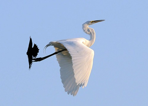 Redwinged Blackbird Vs Great Egret