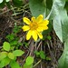 Arrow leaved balsamroot