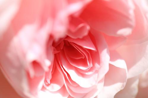 Rose / Rosa / ??(??)