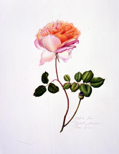 Adele Morosini Rossetti, Rosa 'Abraham Darby' Watercolor and Mixed Media, 12/12/2001 © Copyright Brooklyn Botanic Garden