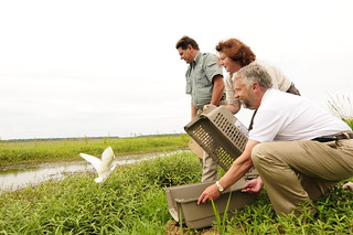 U.S. Fish and Wildlife Service, free a cattle egret at the Sherburne Wildlife Management Area in Ramah, La.