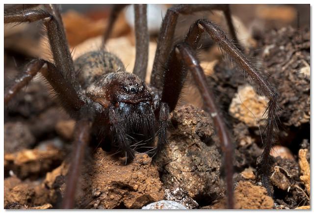 Common house spider ( Tegenaria atrica) Stor husspindel