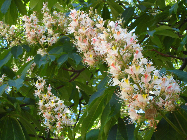 Indian horse-chestnut IMG_8585