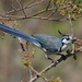 White-throated Magpie-Jay - Photo (c) Dominik Hofer, some rights reserved (CC BY-NC-SA)