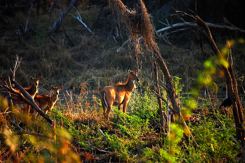 Nilgai Female with its fawns