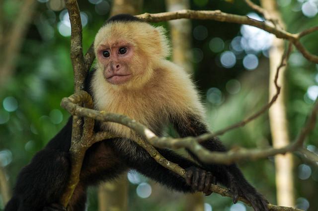 Young White-Headed Capuchin, Sapajou Capucin (Cebus capucinus). Parque Nacional Manuel Antonio. Costa Rica. 2015/02.