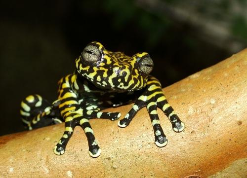 Rana Tigre (Hyloscirtus tigrinus)