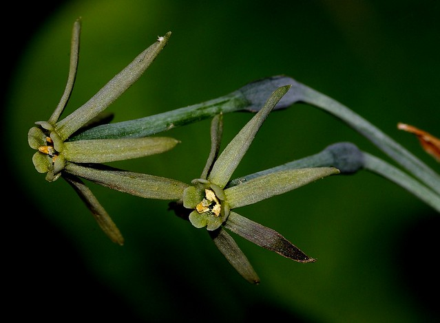 Narcissus viridiflorus Schousb. - AMARYLLIDACEAE - Los Barrios (Cádiz) (14)