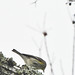 Small photo of Bird on Tallow Tree.