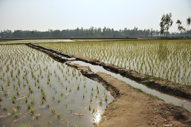 paddy fields by CC user 14541393@N03 on Flickr