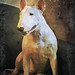 antique bullterrier by Fotomateria