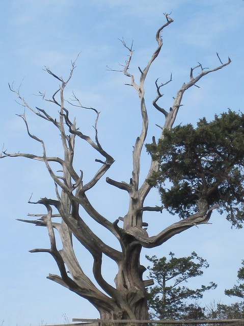 old Seaside Juniper