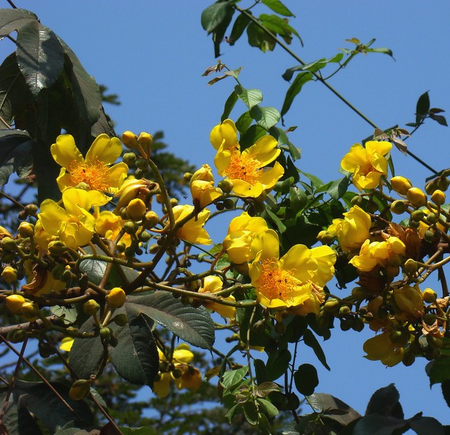 Yellow flowering trees a gallery on flickr buttercup tree cochlospermum religiosum mightylinksfo Image collections