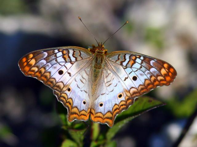 White Peacock 20100221