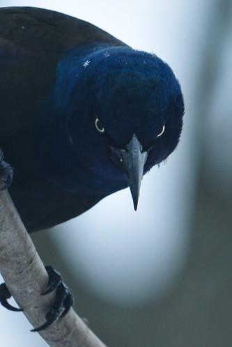 birdsdelawarewilmintonnature commongracklebronze