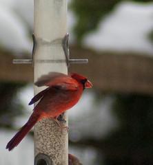 animal, wing, red, fauna, close-up, cardinal, beak, bird,