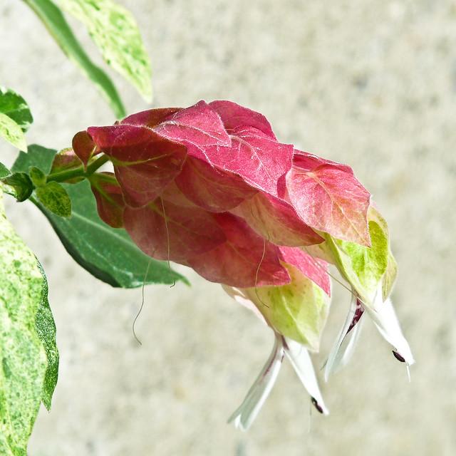 Shrimp Flower Flickr - Photo Sharing!