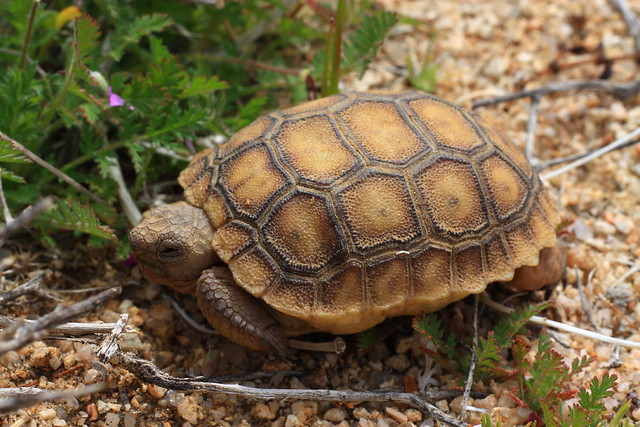 Baby desert tortoise | Flickr - Photo Sharing!