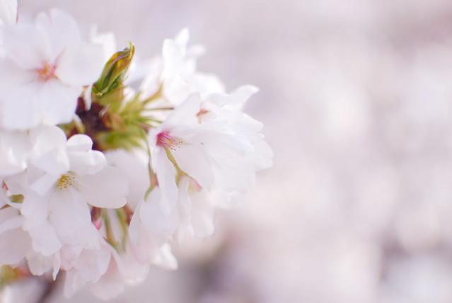 桜 Cherry blossom