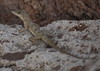 "<a href=""http://www.flickr.com/photos/46679531@N02/4503174945/"">Photo of Anolis aeneus by Mark Stevens</a>"