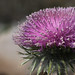 Cirsium occidentale by Eric Hunt.