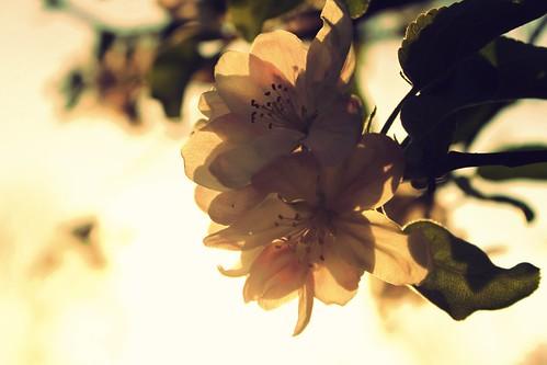 sky plant flower apple vintage mac flora cross blossom process reddin edgedonkey