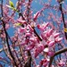 Eastern Redbud - Photo (c) Shihmei Barger 舒詩玫, some rights reserved (CC BY-NC-ND)