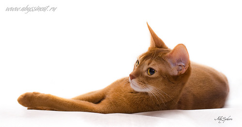 Abyssinian cat Pippi - on white