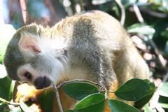possum(0.0), marsupial(0.0), koala(0.0), dormouse(0.0), kinkajou(0.0), animal(1.0), mammal(1.0), squirrel monkey(1.0), fauna(1.0), new world monkey(1.0), wildlife(1.0),
