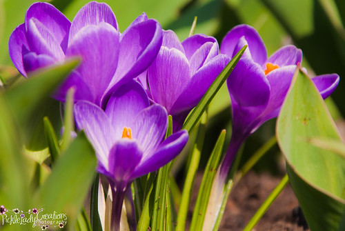 light flower nature landscape petals spring nikon earth crocus dirt bloom crocuses d90 18105mm